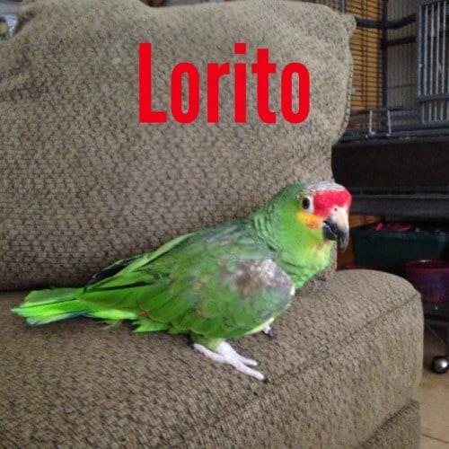 Lorito